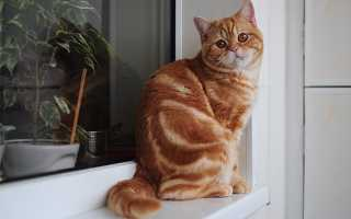 Британская кошка рыжего окраса: история выведения, стандарты и особенности, фото красных котов-британцев