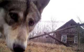 Из зоны отчуждения в Чернобыле сбежал серый волк