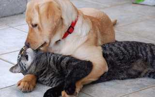 Как подружить кошку с собакой в квартире – полезные советы