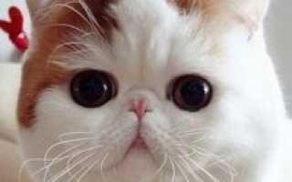 Кот экзот (фото): игрушечный кот с густой шерстью