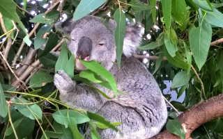 В Австралийском заповеднике коала застряла в заборе