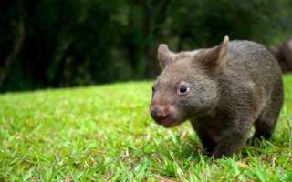 Животное Вомбат (фото): Милое сумчатое млекопитающее