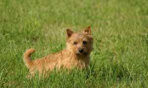 Норвич-терьер (фото): умный, озорной и дружелюбный пес
