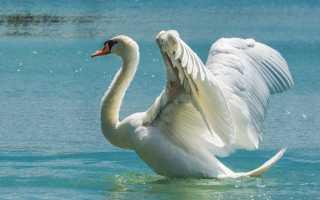 Лебедь шипун – птица, занесённая в красную книгу, что едят, среда обитания, сколько живут и другие интересные факты