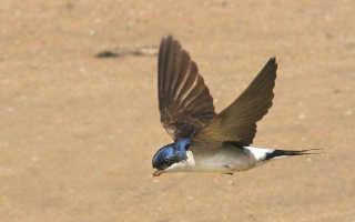 Ласточка (фото): Изящная птица дальнего полета