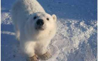 Белый медвежонок из воспитанников дрессировщика стал его домашним питомцем