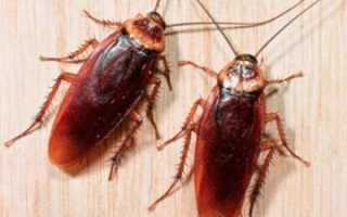 В Сочи появились огромные тараканы