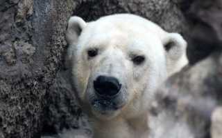 На окраине Норильска подростки повстречали белого медведя