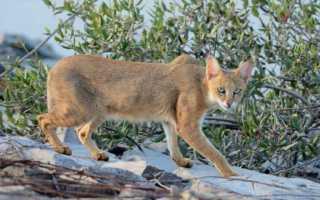 Камышовый кот является идеальным выбором для любителей экзотики