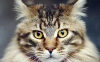 Коты мейн кун (фото): короли домашних кошек