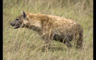 Гиена помогла бородавочнику спастись от леопарда