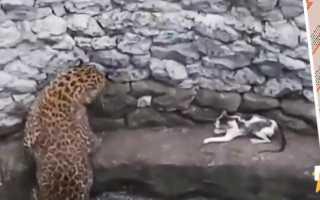 Видеоловушки зафиксировали четырёх редких леопардов за несколько дней