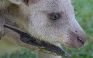 Кенгуру привыкают ко снегу в Австралии