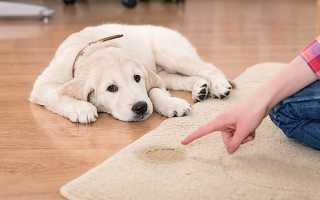 Как приучить собаку к пеленке – полезные советы