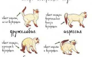 Как успокоить кота или кошку, если они агрессивные, причины беспокойного поведения, способы взаимодействия, чтобы избежать укусов и царапин