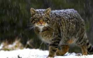 Aigas Field Centre представили двух редких шотландских диких котят