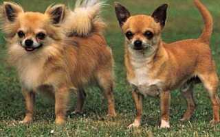 Короткошёрстные породы собак и особенности ухода за их шерстью