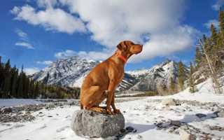 Курцхаар (фото) – верный компаньон и отличный охотник: описание, характер, уход