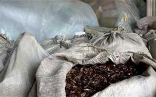 Китайцы превратили тараканов в доходный бизнес