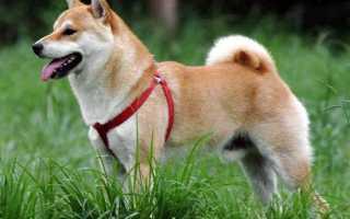 10 пород собак для ленивых хозяев – список беспроблемных пород