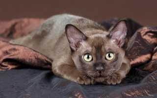Бурманская кошка (фото): мускулистый крепыш с медовыми глазами
