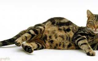 Беременность у кошек: срок, признаки и грамотный уход