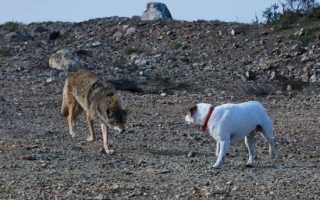 Кто сильнее волк или собака — кто победит в схватке