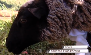 9 миллионов рублей выделено на поддержку романовской овцы