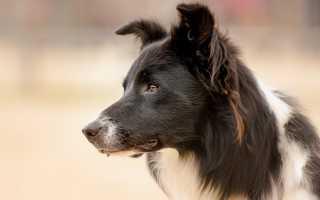 Бордер-колли (фото): самый умный пес в мире
