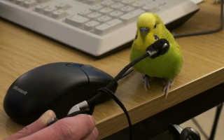 Как научить волнистого попугая говорить, что делать, чтобы питомец начал разговаривать