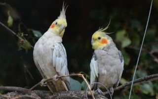 Виды домашних попугаев: попугаи среднего размера