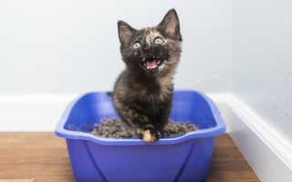 Здоровое мочеиспускание у кошек и котов: сколько раз в день должен писать котёнок и взрослое животное, отклонения от нормы и их причины