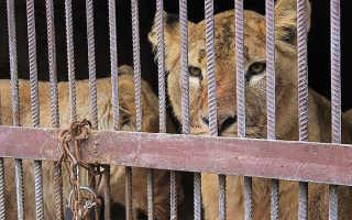 Львица из зоопарка Миннесоты убила партнёра после 8 лет совместного проживания