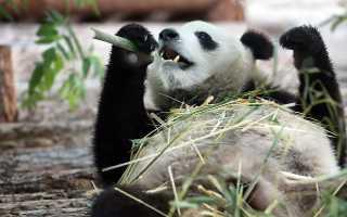 В Московском зоопарке отметили день рождения китайских панд