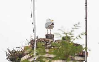 Наглые чайки воруют еду у людей