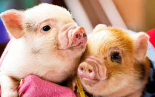 Как маленькая дикая свинка стала домашней любимицей