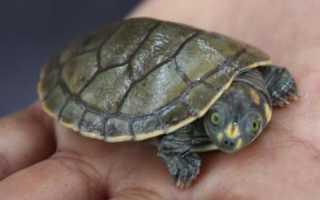 Омичи сдают в зоопарк редких черепах