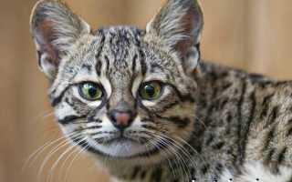 Кошка Жоффруа: описание, характер, среда обитания и образ жизни, фото