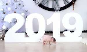В России в преддверии Нового года начался спрос на мини-пигов