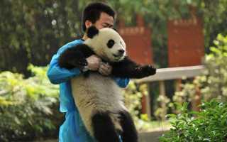Интересные вещи о больших пандах