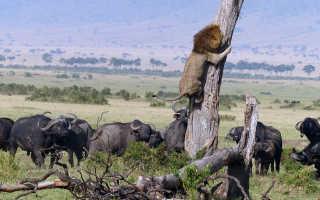 Маленький бегемот прогнал стадо буйволов с водопоя