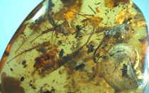 Китайские учёные обнаружили длинный палец у птицы из янтаря