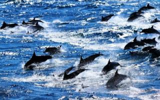 Дельфины прыжками поблагодарили людей