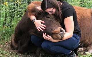 Американский отель предложил постояльцам обниматься с коровами за 75 долларов