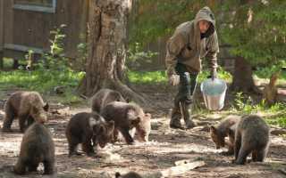 На Камчатке медведица усыновила осиротевшего медвежонка