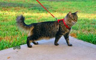Котята мейн-кун (фото): как правильно растить и ухаживать