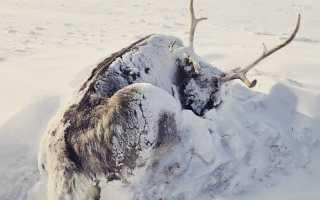 На Шпицбергене гибнут северные олени
