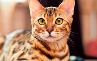 Бенгальская кошка (леопардовая): история породы, описание, характер, советы по содержанию и уходу, фото бенгала