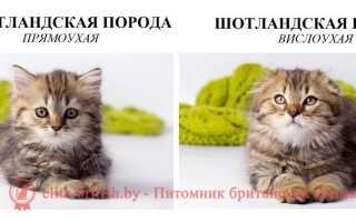 Вислоухие коты-британцы и шотландцы: чем отличаются британские и шотландские кошки, разница с фото