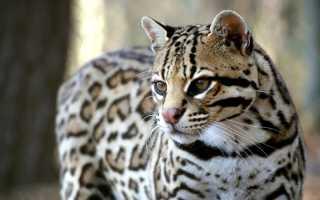 Длиннохвостая кошка: описание, характер, среда обитания и образ жизни, фото